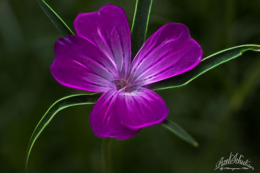 Blüte by haraldkleiner