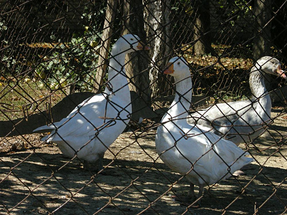 Geese by Dragana Pavlovic
