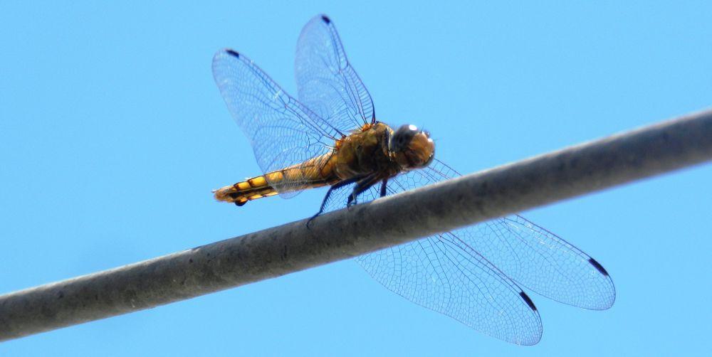 dragon fly!!! by anitasougaijam