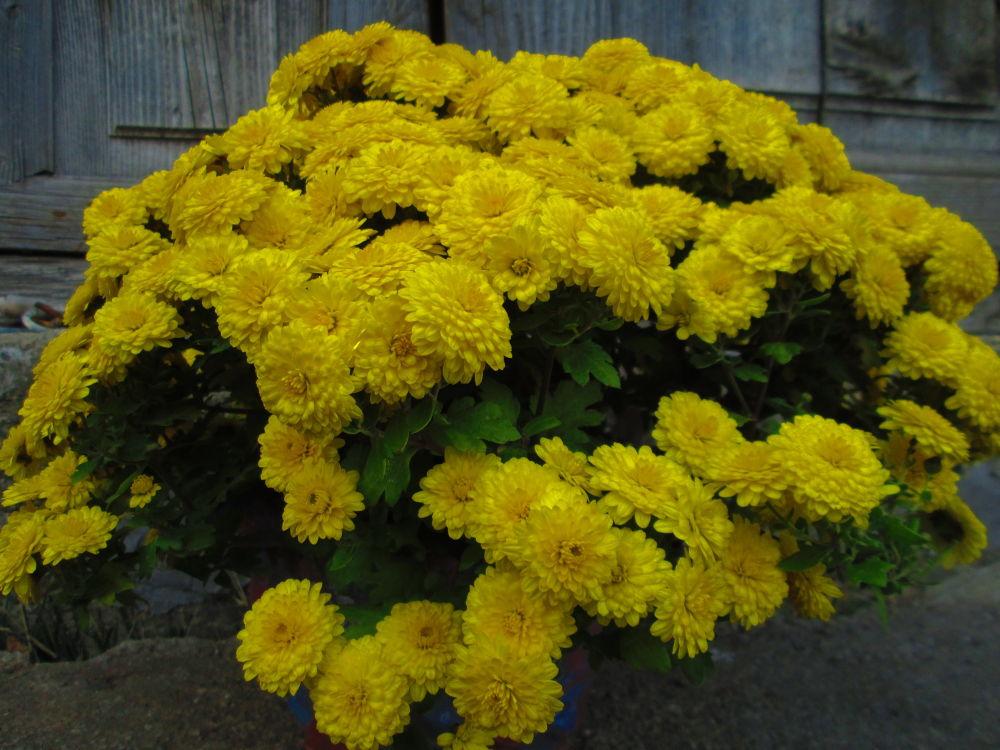chrysanthemums by Gratiela