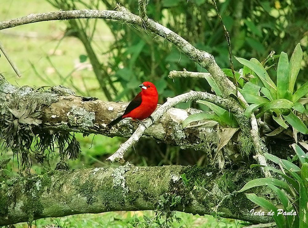 red tanager by iedadepaula5