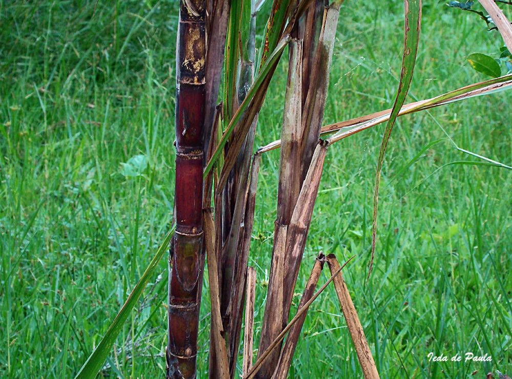 sugarcane by iedadepaula5