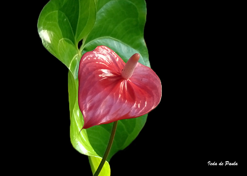 beautiful anthurium by iedadepaula5