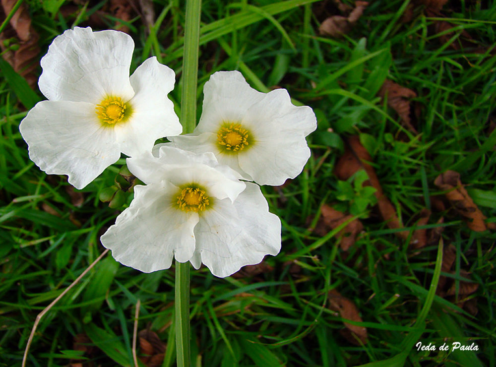 White Flower VI by iedadepaula5