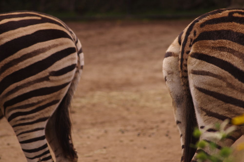 The zebras by katherineannpotter