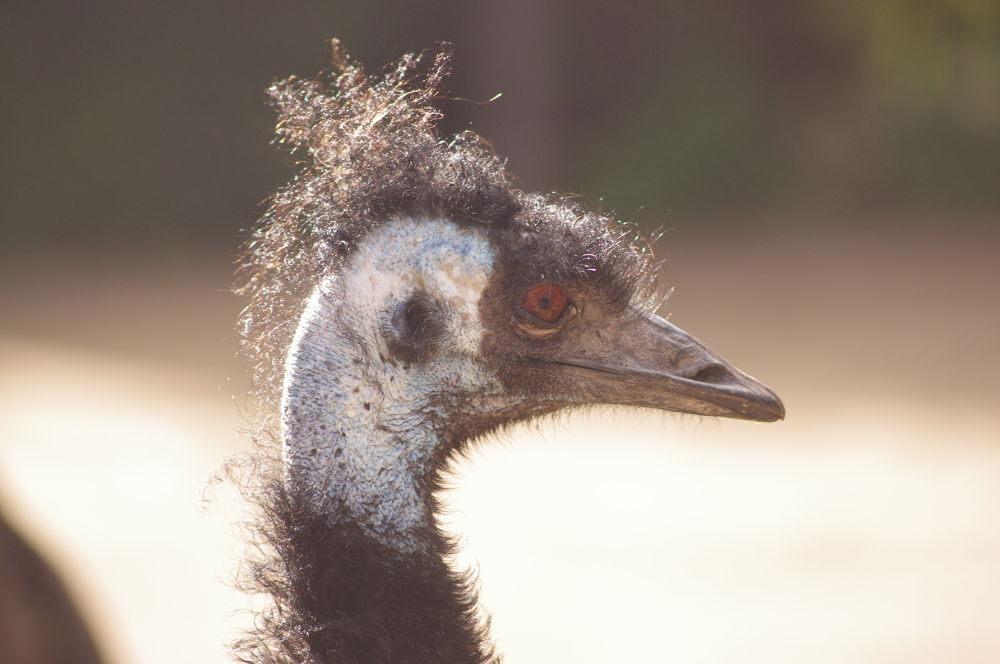 Photo in Animal #melbourne zoo #zoo #melbourne #emu