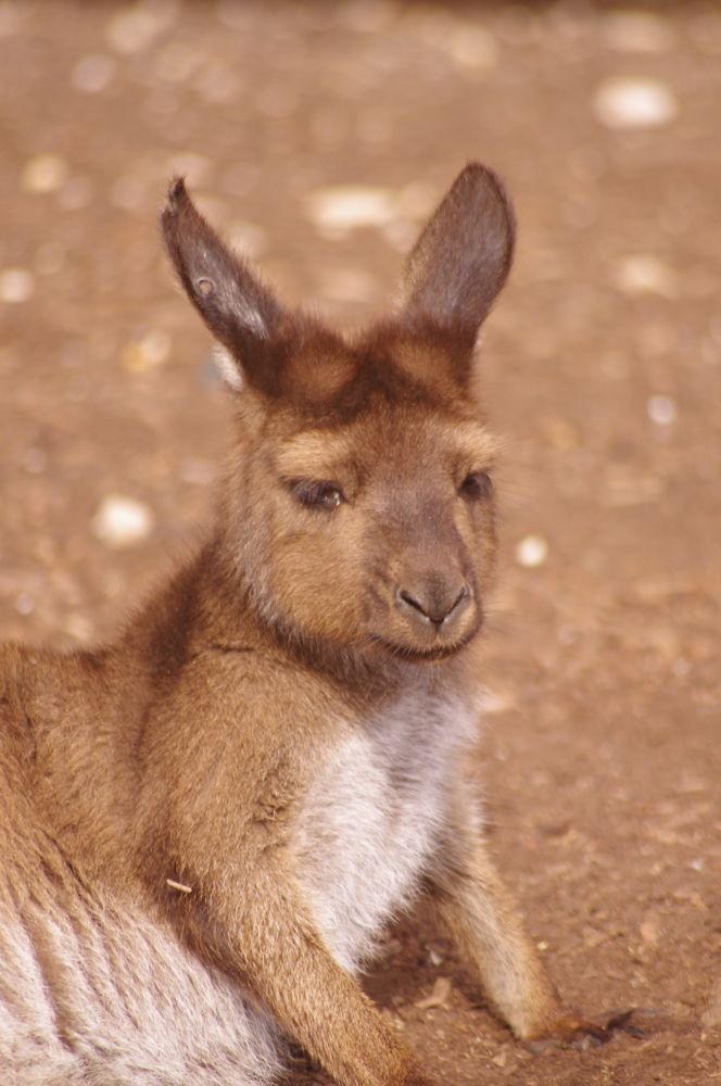 Photo in Animal #melbourne zoo #melbourne #zoo #kangaroo