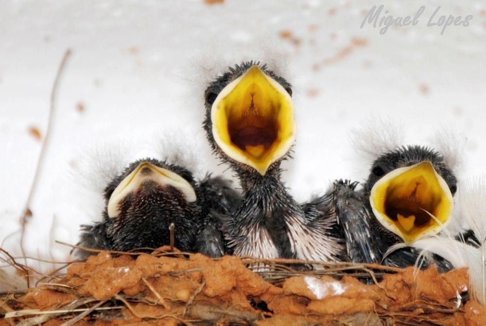 Andorinhas by michaellopeslopes