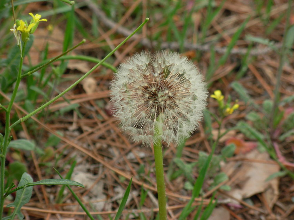 A Soft Dandelion Flower by DaNi Ibra