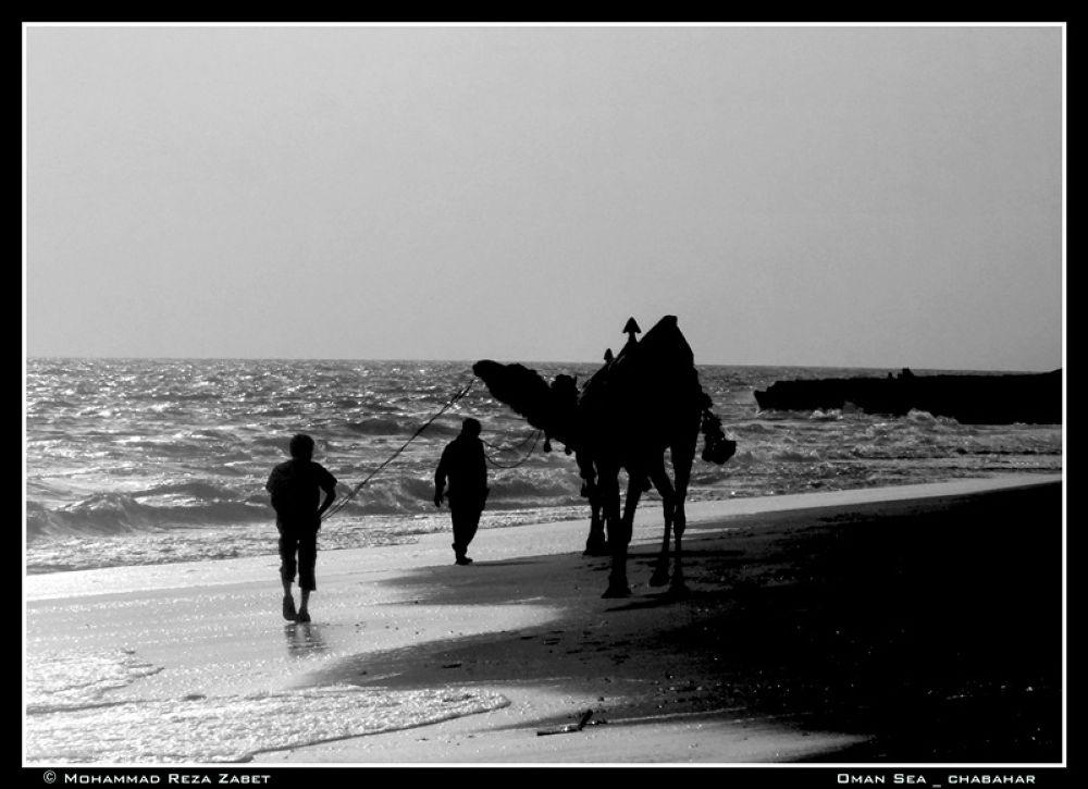 cameleer by Mohammad Reza Zabet