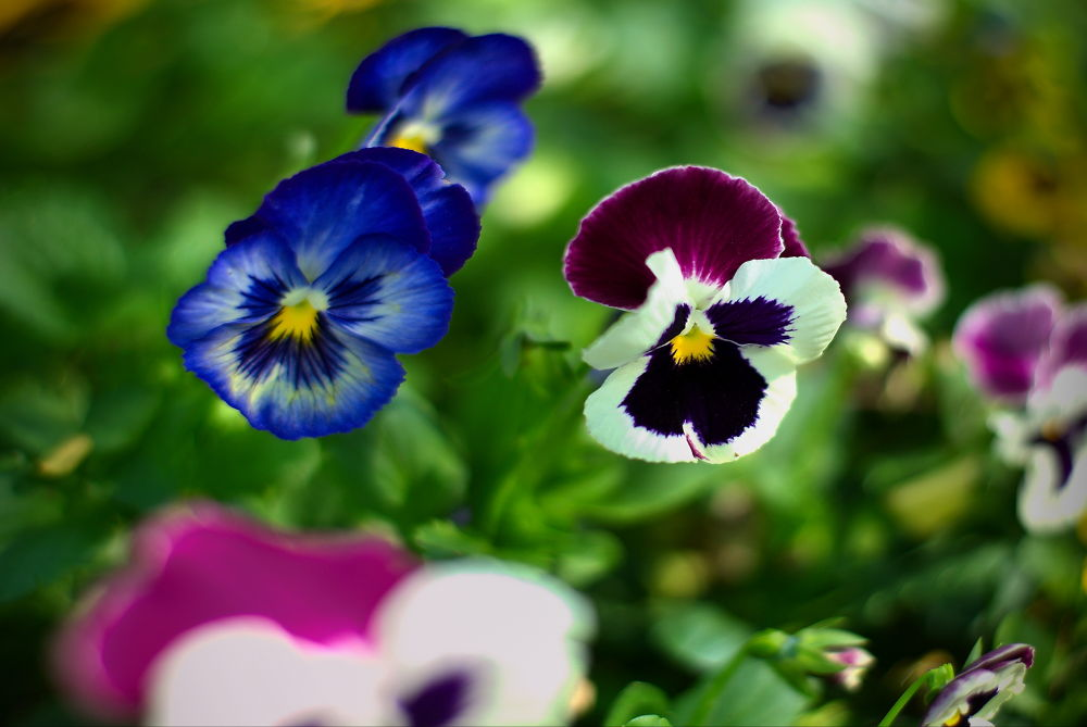 Pansy. by StyxLee