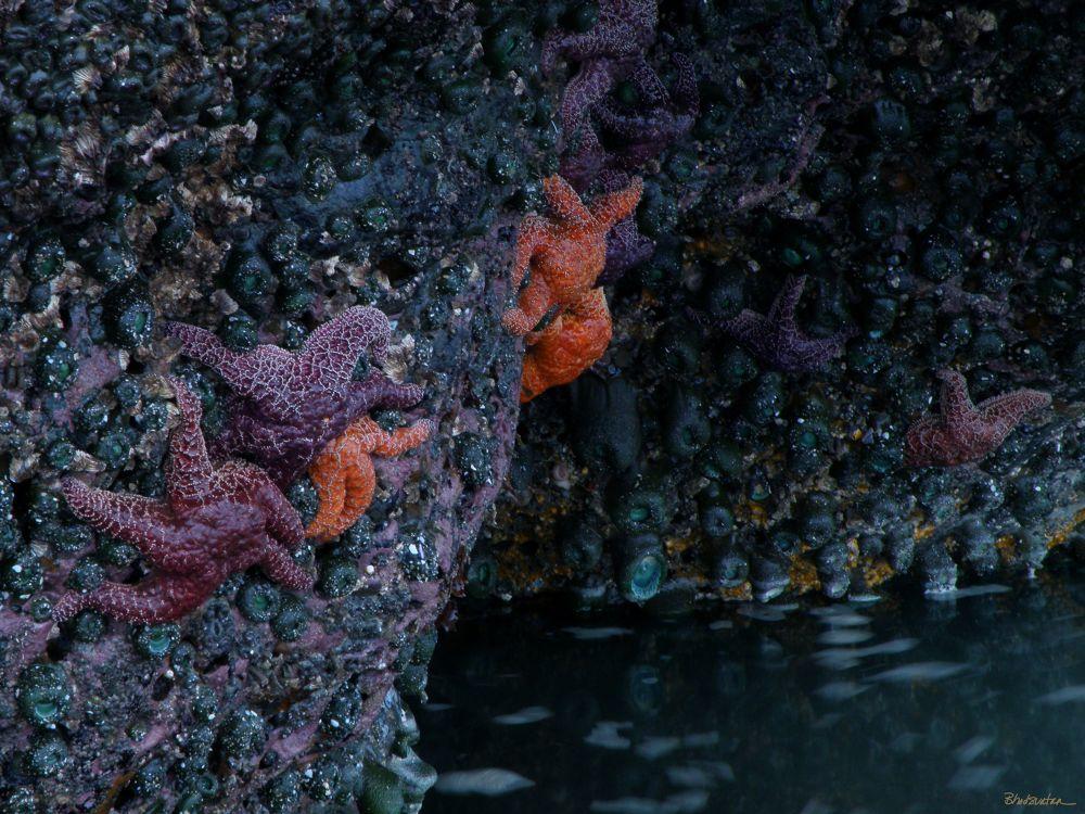 Starfish by tatiacha