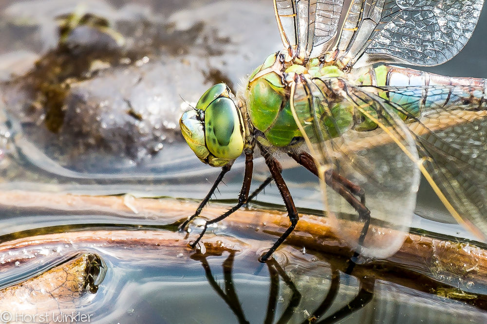 dragonfly by icefish