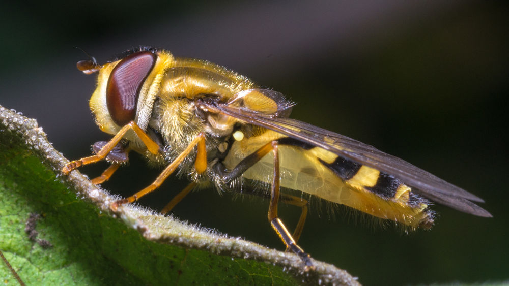 Hoverfly (Episyrphus balteatus) 2 by Paolo K1