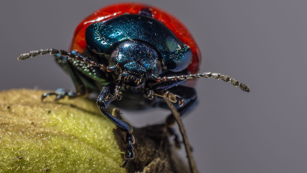 Chrysolina grossa (Fabricius 1792)2 by Paolo K1