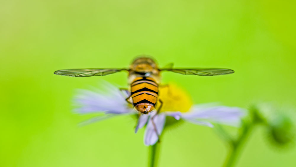 Symmetric hoverfly  by Paolo K5