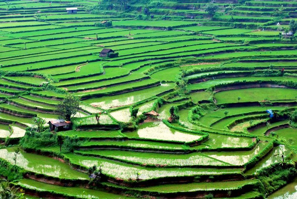 rice-field5 by farisbearsgantengdewe