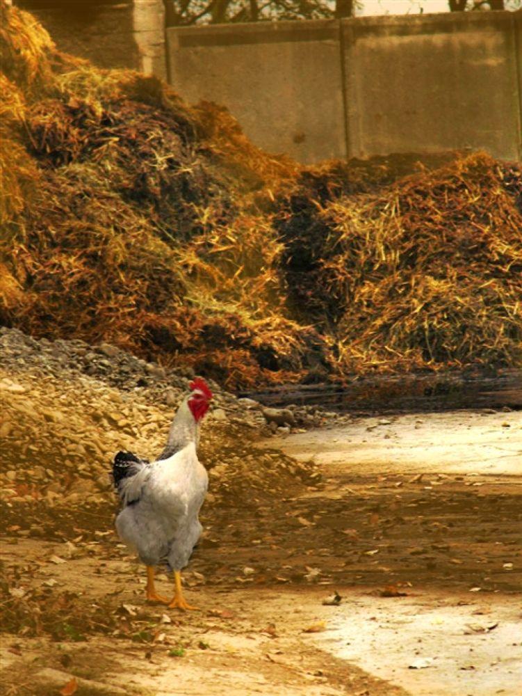 gallo by rosannatosonotti