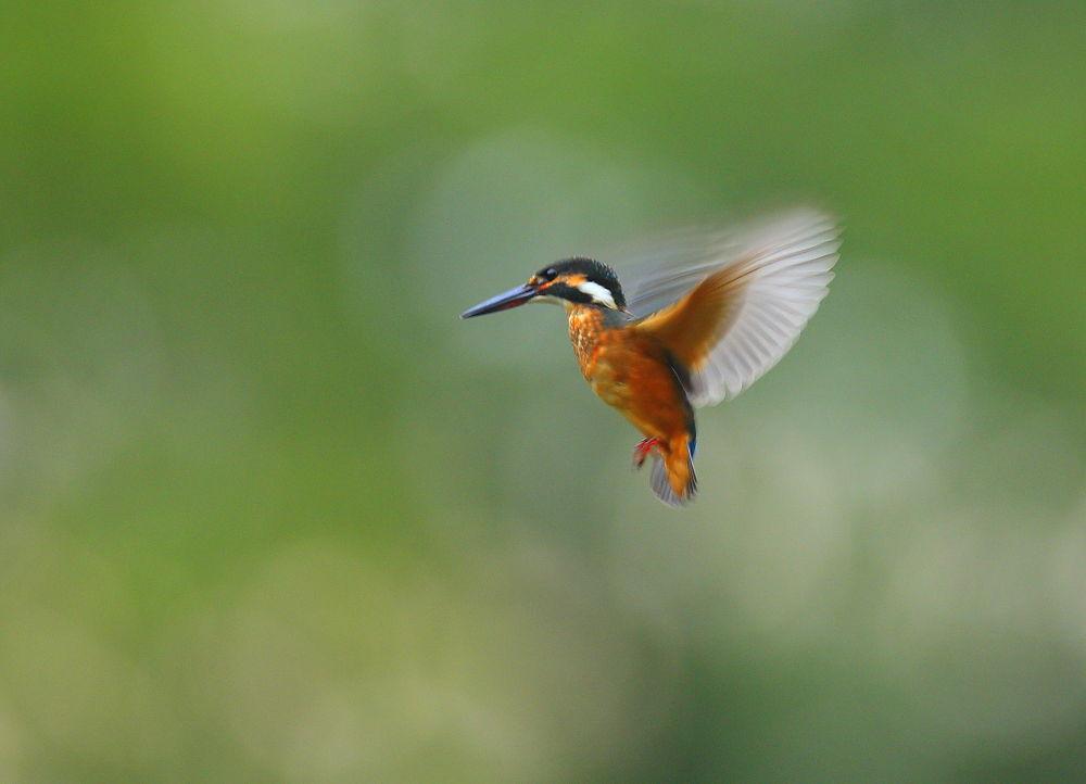 Green back hovering by KUMA3