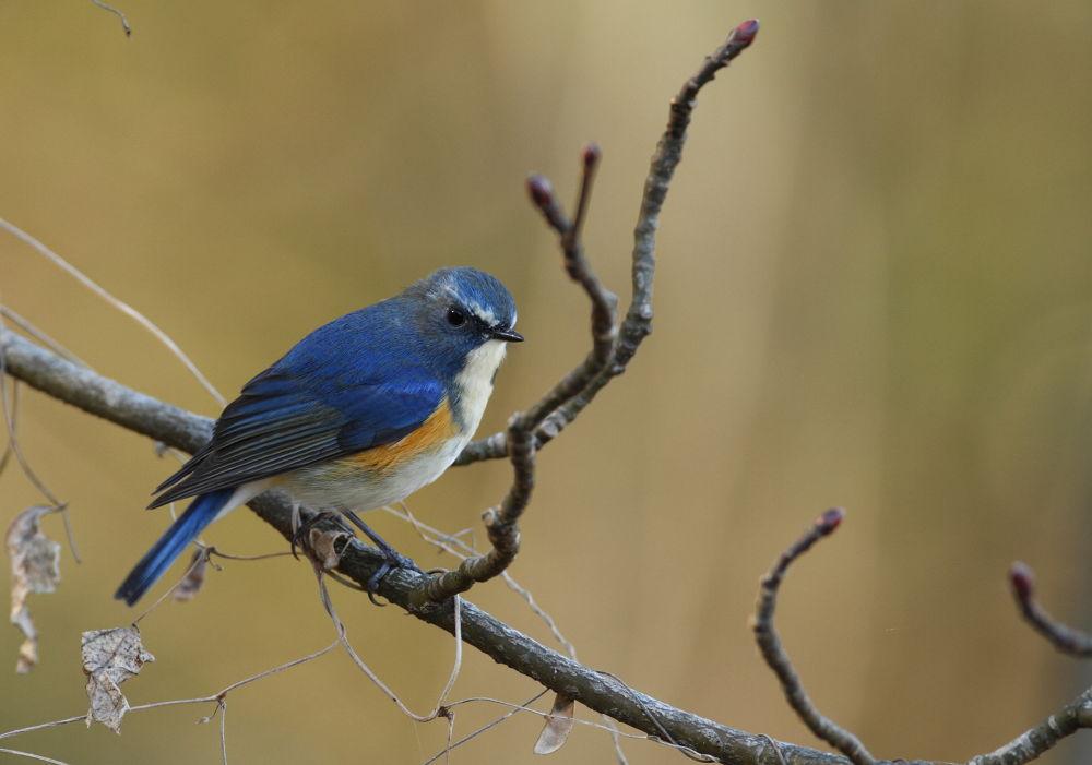 Quiet blue bird by KUMA3