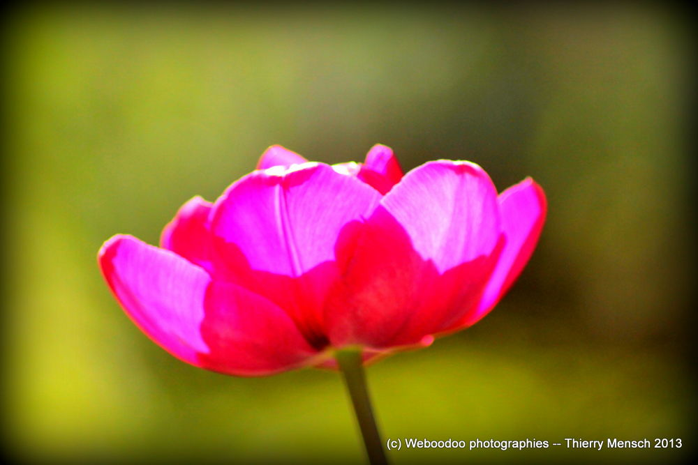 tulipe 1 by Weboodoo Photographies