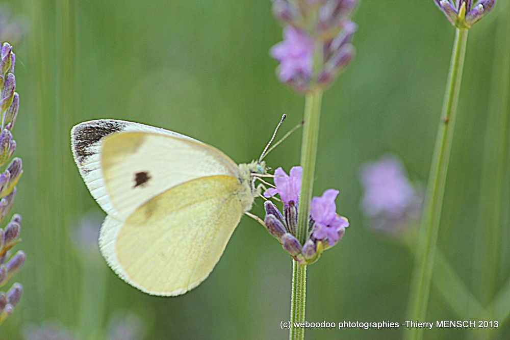Papillon 2 by Weboodoo Photographies
