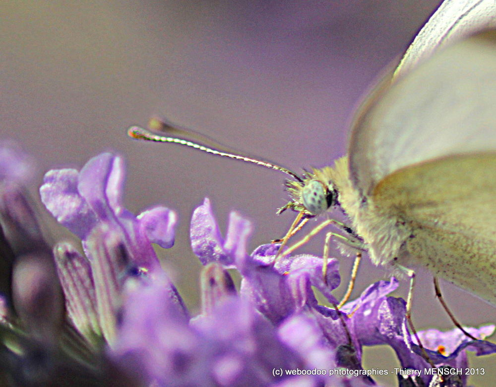 papillon 1 by Weboodoo Photographies