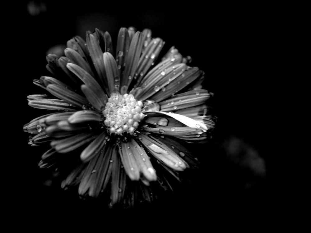 flower in BnW by Peggy Heidan