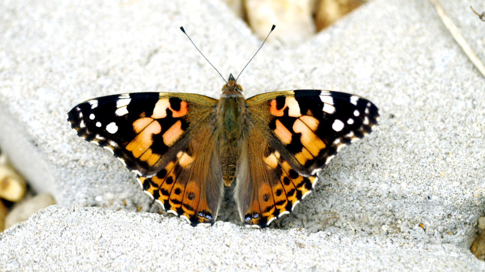 painted lady - butterfly - Vanessa cardui by Peggy Heidan