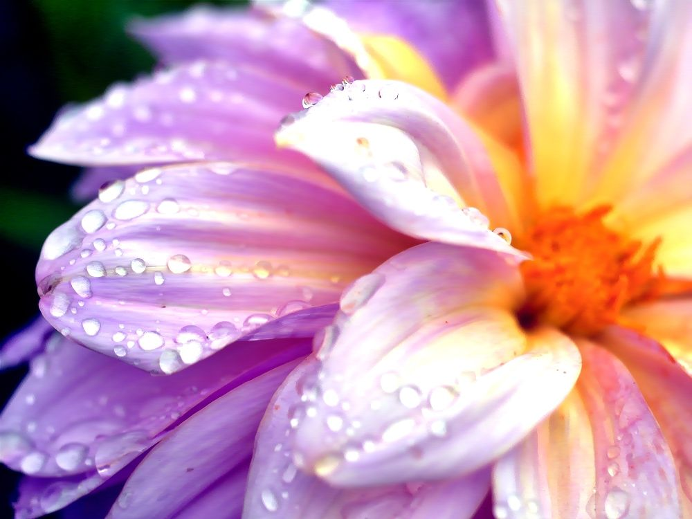 Photo in Macro #flower #macro #close up #dahlia #waterdrops #reiny #wet #colourful #garden #nature #blossom