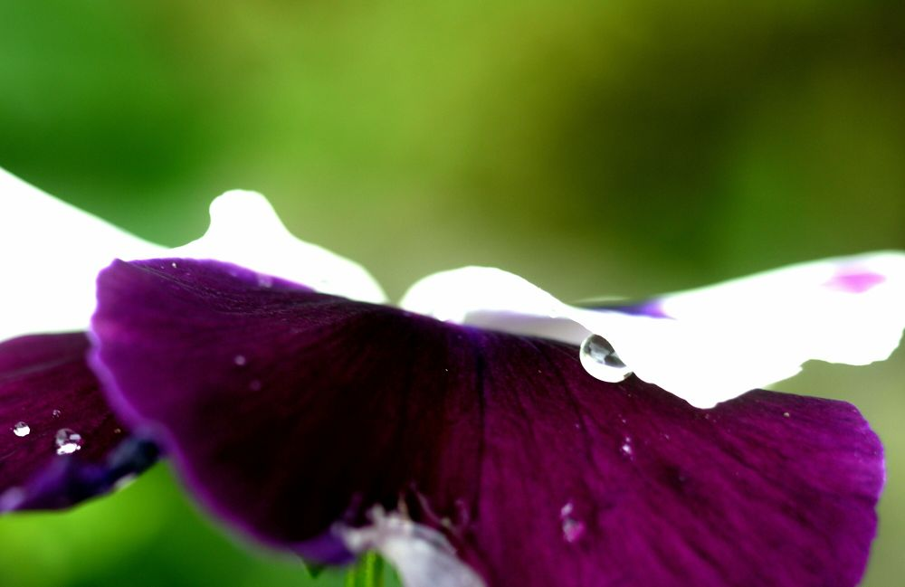 pansy holding waterdrop by Peggy Heidan