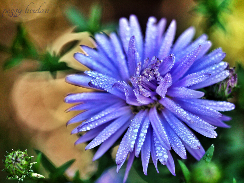 aster with waterdrops by Peggy Heidan