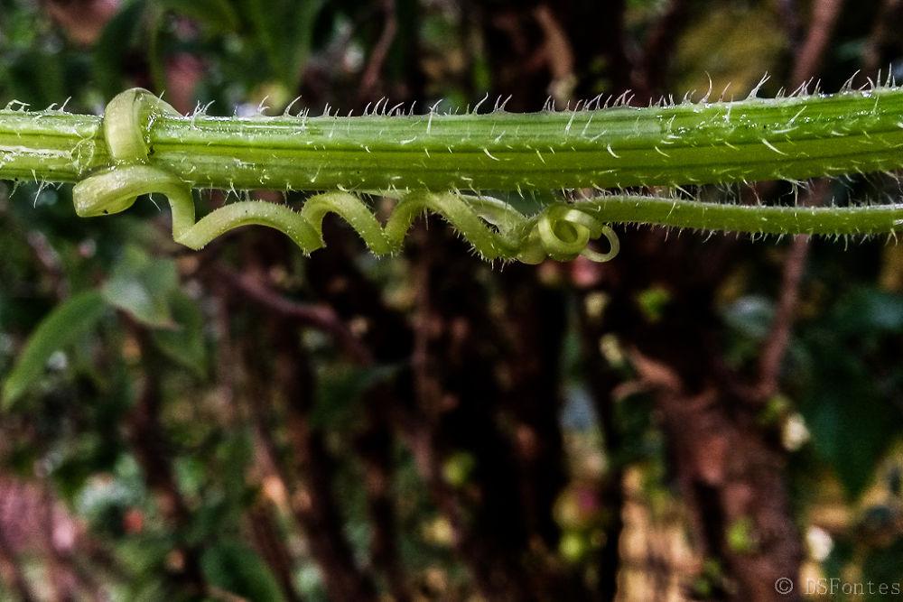 Cucumber tendril by Doris Fontes