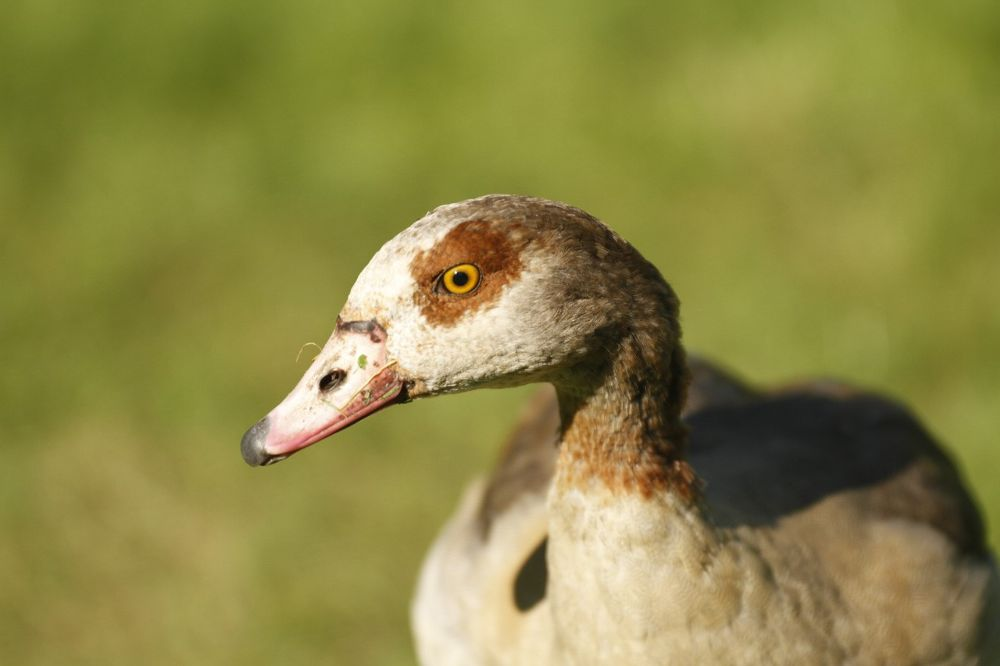 Egyptian Goose by Paul Brown