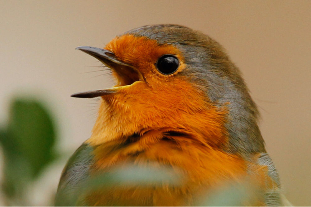 Chatty Robin by Paul Brown