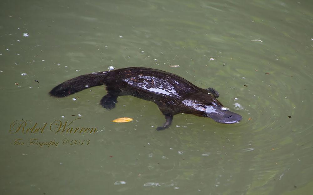 Platypus by RebelWarren