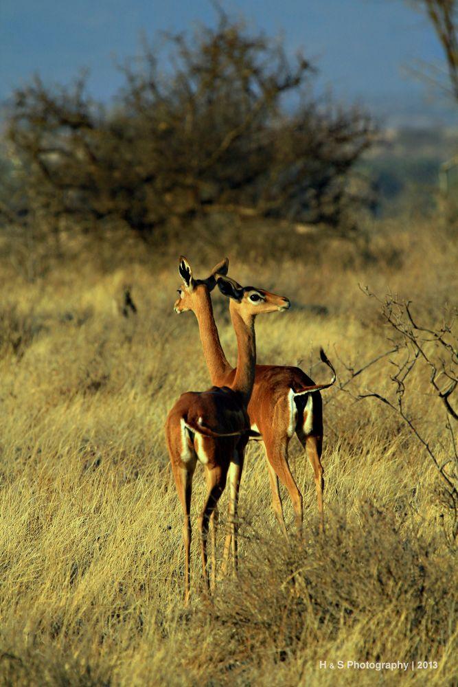 Impala by serna Aghaei