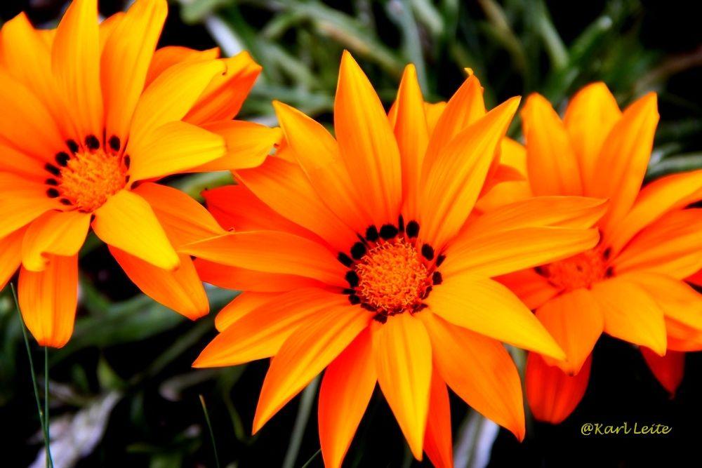 Brazilian Flower by Karl Leite