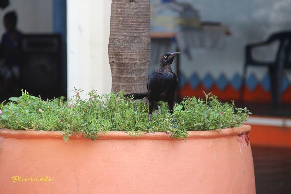 BlackBird Maria Mulata, Cartagena, Colombia by Karl Leite