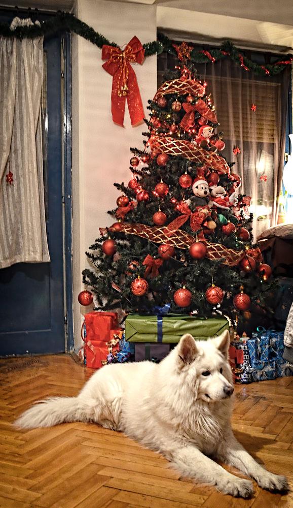 Photo in Animal #zdravko #zdrave #samoyed #haski #dog #white dog