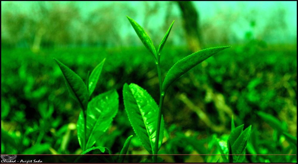 Tea leaf by Avijit Saha