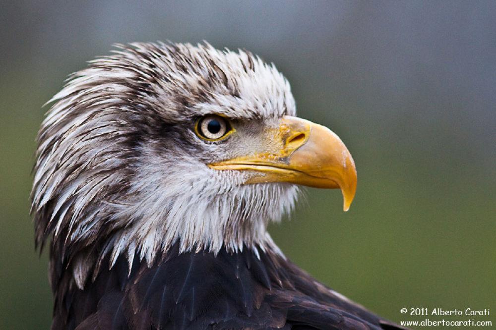 Eagle - Falconry show by Alberto Carati