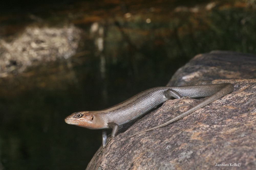 Photo in Macro #ypa2013 #lizards #skink #australian animals