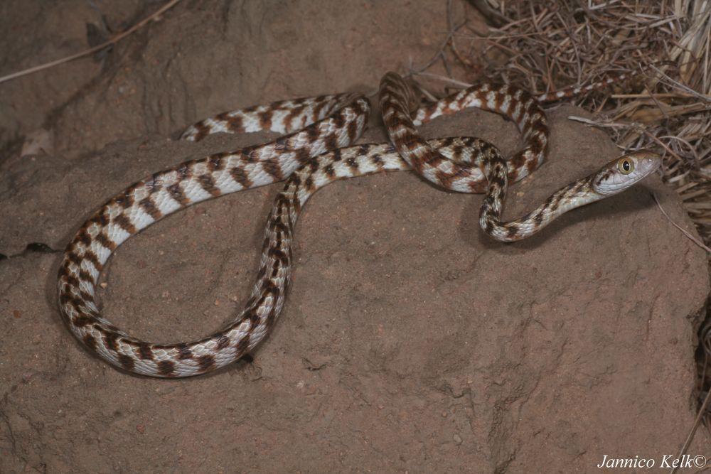 Photo in Macro #ypa2013 #snakes #snakes of australia #australian wildlife