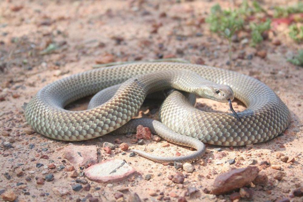 Photo in Macro #ypa2013 #snakes #venomous #reptiles of australia #australian wildlife