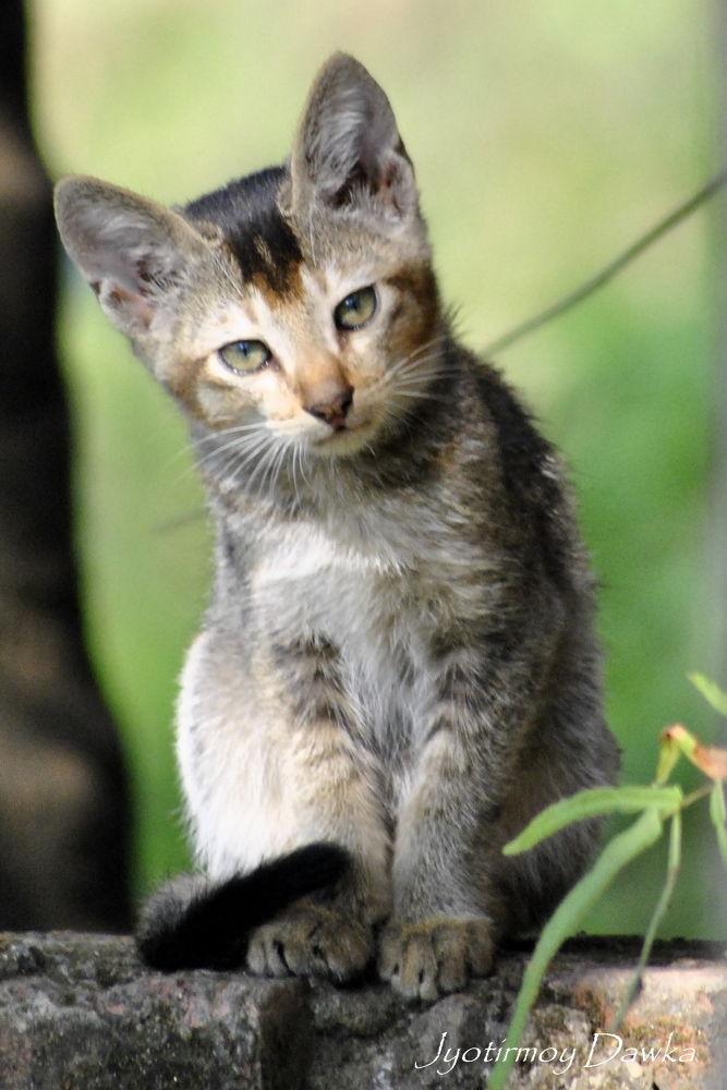 CUTIE CAT by Jyotirmoy Dawka