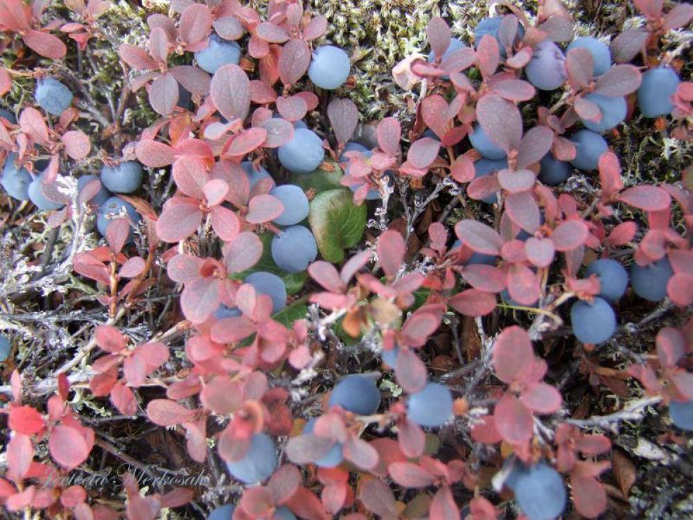 blue berries by jititamiqusaaq