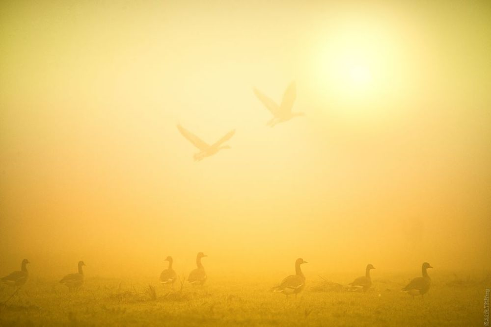 Photo in Animal #geese #sun #mist #eempolder #thhoang