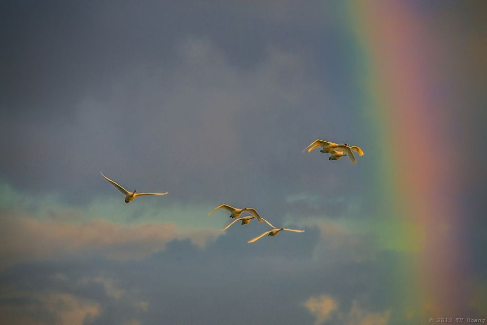 The Swans Across From The Rainbow by TH Hoang