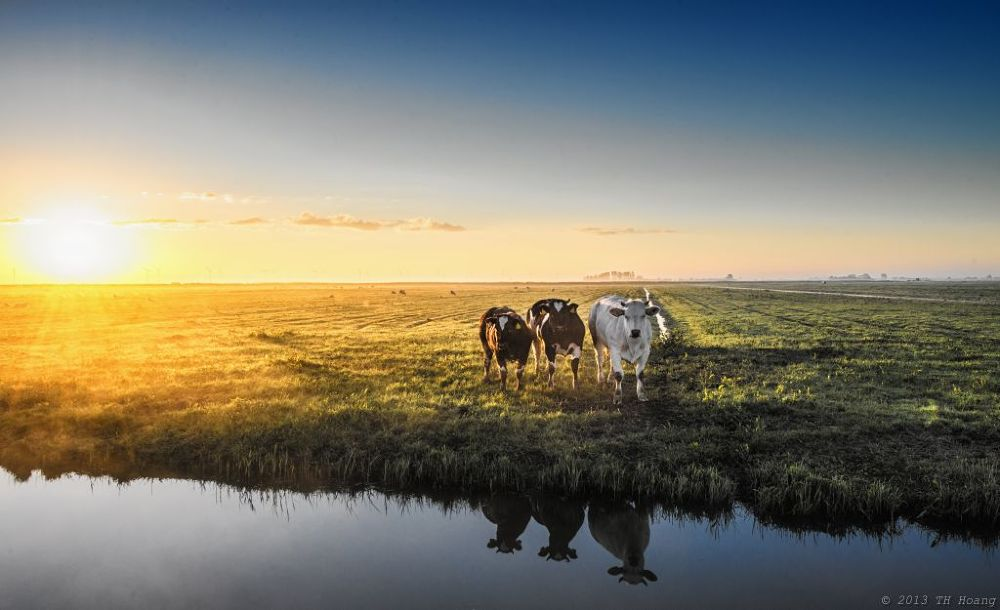 3 Cows by TH Hoang